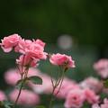 Photos: 22神代植物公園【春バラ:クイーン・エリザベス】
