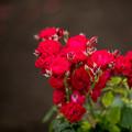 Photos: 23神代植物公園【春バラ:ルビー・リップス】