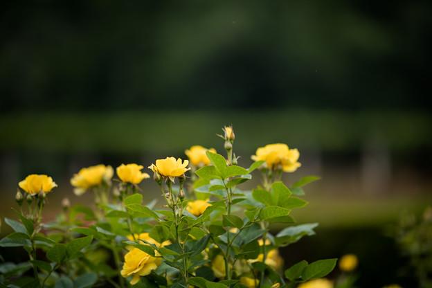 24神代植物公園【春バラ:伊豆の踊子】1