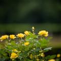 Photos: 24神代植物公園【春バラ:伊豆の踊子】1