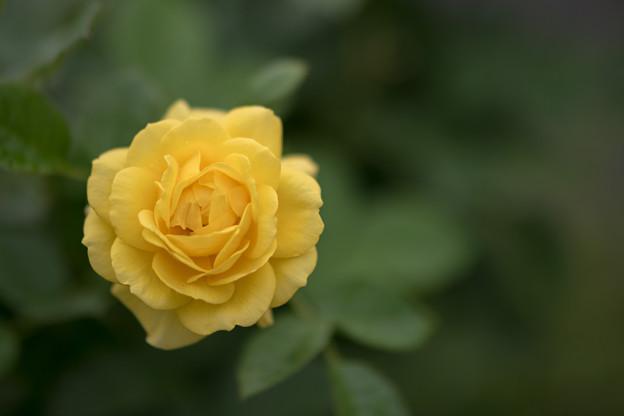 25神代植物公園【春バラ:伊豆の踊子】2