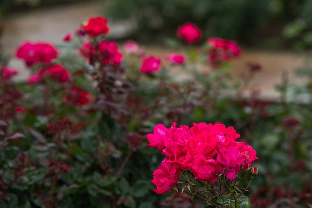 Photos: 26神代植物公園【春バラ:ノックアウト】