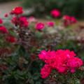 26神代植物公園【春バラ:ノックアウト】