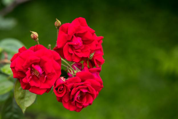 Photos: 27神代植物公園【春バラ:コモドーレ】