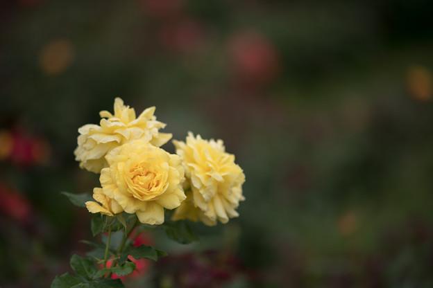 Photos: 28神代植物公園【春バラ:ミラベラ】