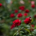 29神代植物公園【春バラ:イングリッド・バーグマン】