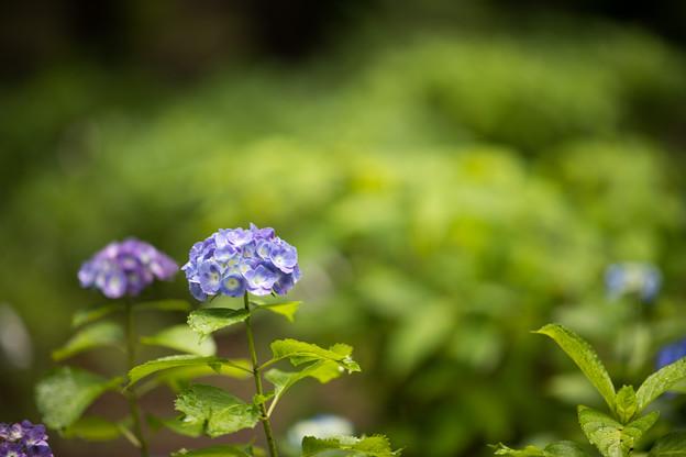 30神代植物公園【紫陽花:アルトナ】1
