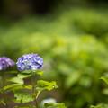 Photos: 30神代植物公園【紫陽花:アルトナ】1