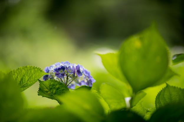 31神代植物公園【紫陽花:アルトナ】2