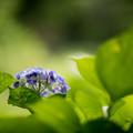 Photos: 31神代植物公園【紫陽花:アルトナ】2