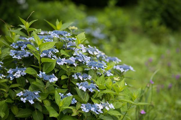 32神代植物公園【紫陽花:ガクアジサイ】1