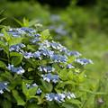 Photos: 32神代植物公園【紫陽花:ガクアジサイ】1