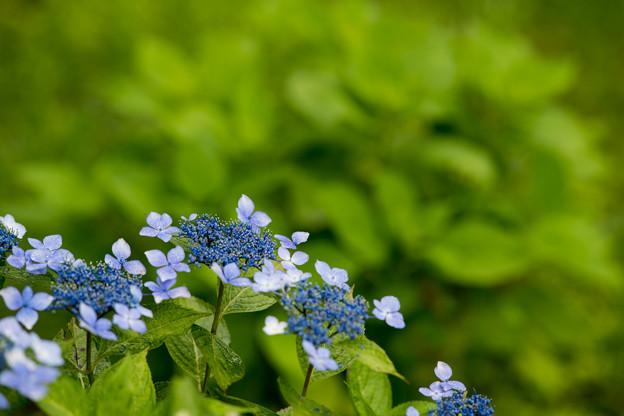 33神代植物公園【紫陽花:ガクアジサイ】2
