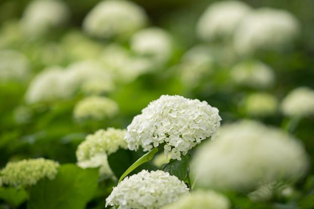 34神代植物公園【紫陽花:アナベル】1