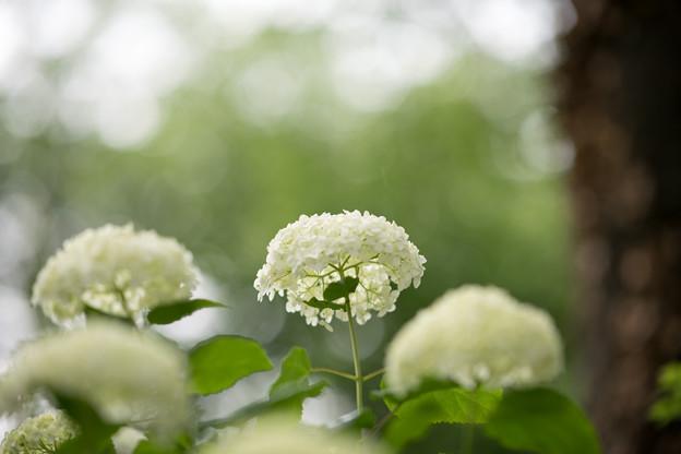 35神代植物公園【紫陽花:アナベル】2