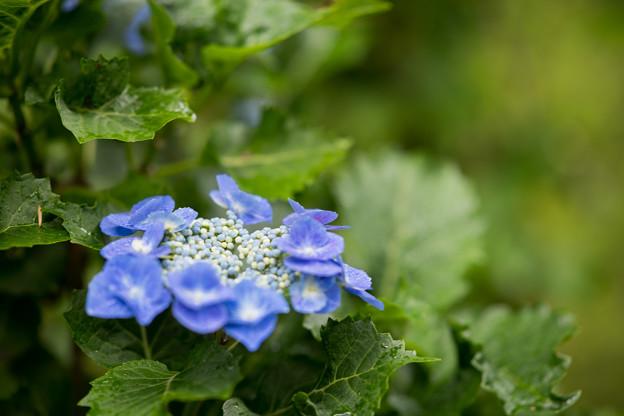 38神代植物公園【紫陽花:渥美絞り】