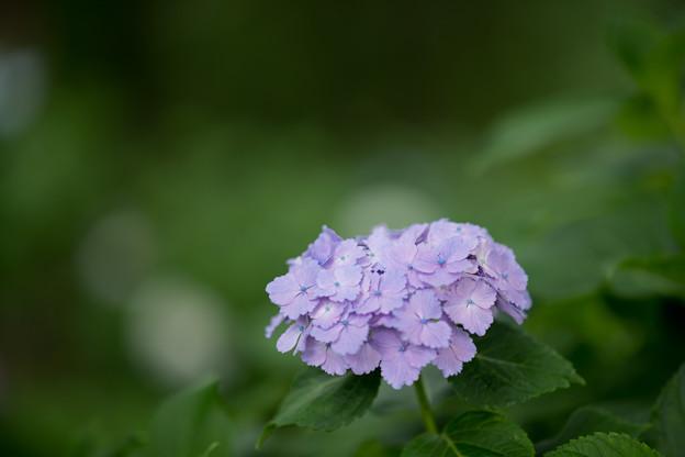 36神代植物公園【紫陽花】