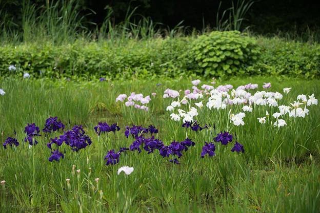 41神代植物公園【花菖蒲】1