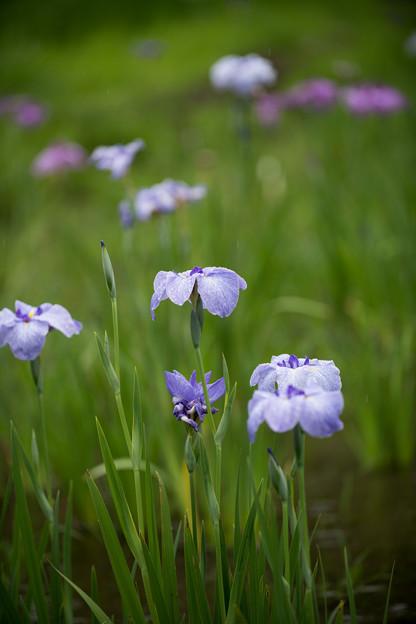 45神代植物公園【花菖蒲】5