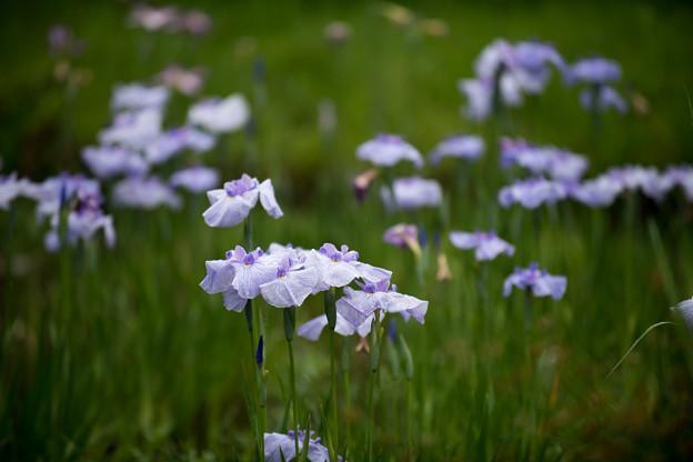 46神代植物公園【花菖蒲】6