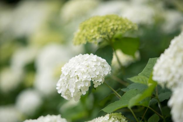 22府中市郷土の森【アナベルの小径】6