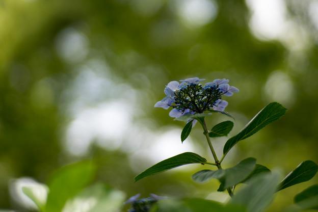 36府中市郷土の森【ガクアジサイ(青系)】4