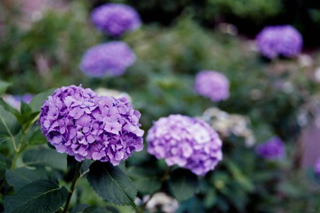 47府中市郷土の森【アジサイ(紫系)】4銀塩NLP