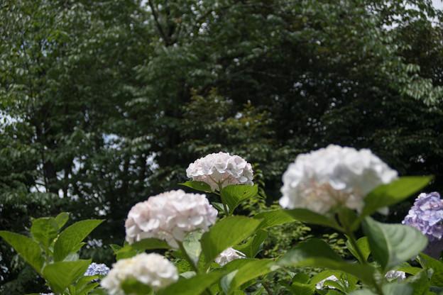 55府中市郷土の森【アジサイ(白系)】