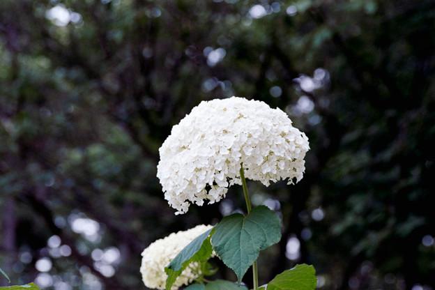 09相模原北公園【アジサイ:アナベル】6銀塩NLP