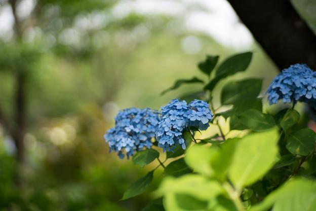 24相模原北公園【アジサイ:ホンアジサイ】4