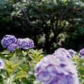 Photos: 35相模原北公園【アジサイ:フラウ・ヨシコ】銀塩NLP