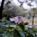 Photos: 37相模原北公園【アジサイ:甘茶】銀塩NLP