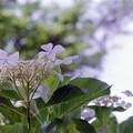 Photos: 42相模原北公園【アジサイ:ウツリシロ】銀塩