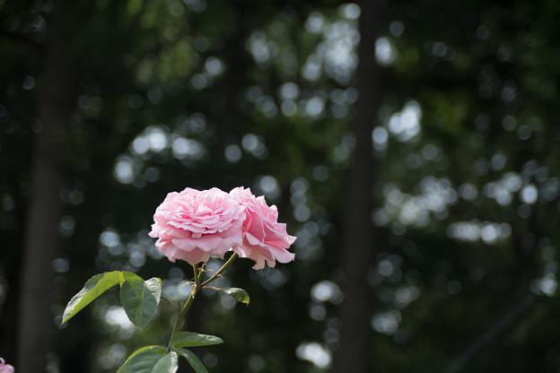 46相模原北公園【春バラ:フレデリック・ミストラル】