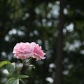 Photos: 46相模原北公園【春バラ:フレデリック・ミストラル】