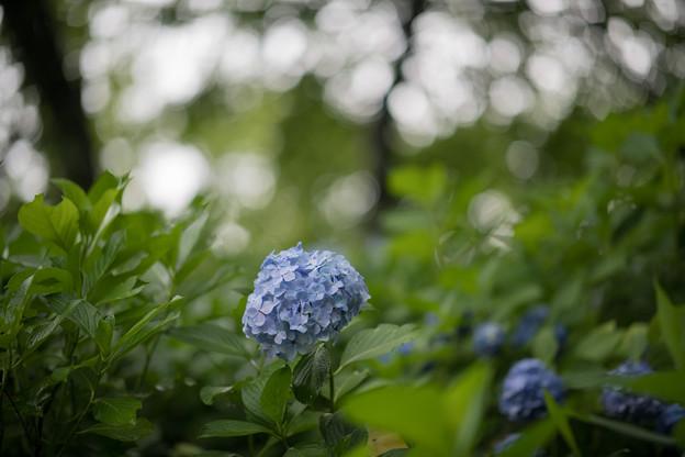 05生田緑地【紫陽花】4