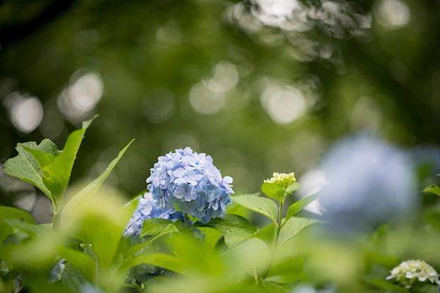 06生田緑地【紫陽花】5
