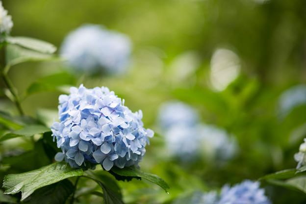 08生田緑地【紫陽花】7
