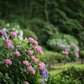 04薬師池公園【紫陽花:菖蒲田周辺】4