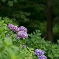05薬師池公園【紫陽花:菖蒲田周辺】5
