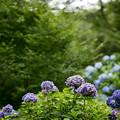 10薬師池公園【紫陽花:アジサイ山周辺】4