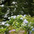 11薬師池公園【紫陽花:アジサイ山周辺】5