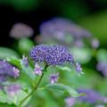 14薬師池公園【紫陽花:アジサイ山周辺】8銀塩