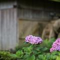 17薬師池公園【紫陽花:水車小屋】2