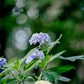 32薬師池公園【エビネ苑:ウズアジサイ】1銀塩NLP
