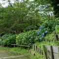 36薬師池公園【アジサイ園】2