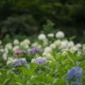Photos: 44薬師池公園【アジサイ園:ウズアジサイ】3