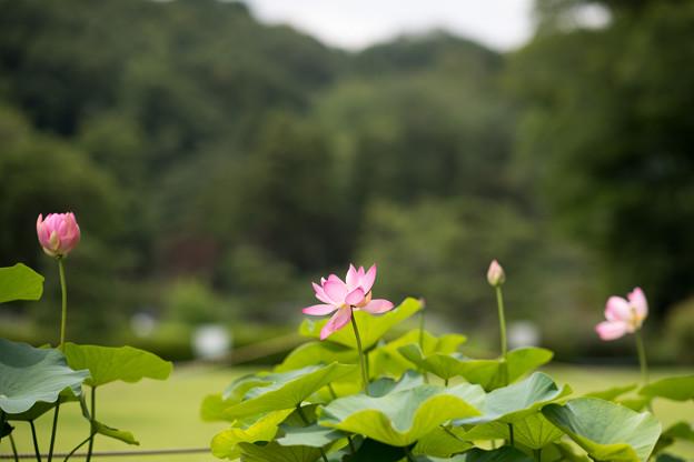 Photos: 54薬師池公園【蓮の花】1