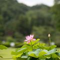 54薬師池公園【蓮の花】1