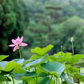 55薬師池公園【蓮の花】2銀塩